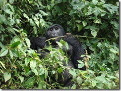 A mountain gorilla in Volcanoes National Park. Rwanda Development Board (RDB) Recognizes Local Communities for promoting Mountain Gorilla Tourism