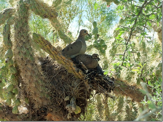Mourning dove and two babies on cactus wren nest 6-13-2012 9-25-24 AM 3616x2712