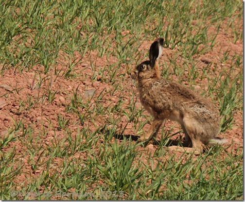 53-hare