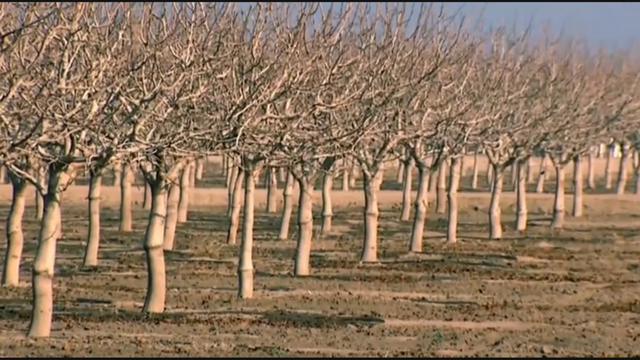 A dried-up orchard near Firebaugh, in California's San Joaquin Valley, 21 February 2014. A federal agency said California farmers hit hard by a withering drought will receive no irrigation water this year from a sprawling system of rivers, canals, and reservoirs across the parched state. Photo: NBC News