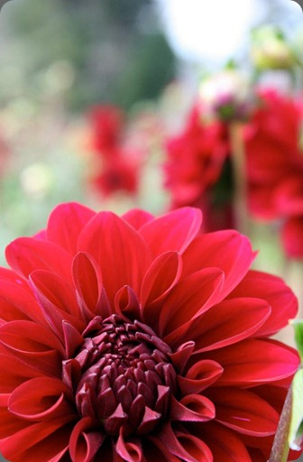 580799_10151155649390152_856747543_n flora organica designs naomi dahlia