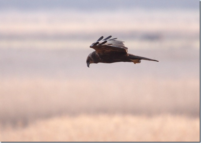 marsh_harrier