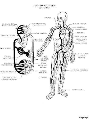 cuerpo humano corazón aparato circulatorio
