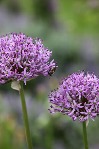 Bees and other flying insects gather allium nectar.  I wonder what onion flavored honey is like?