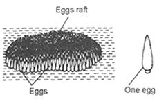Culex eggs