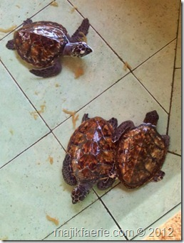 26-turtle-hatchery-480x640_thumb3