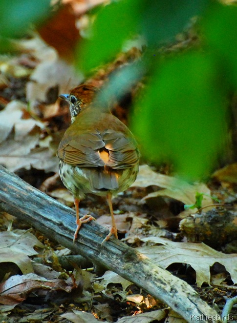 2. woodthrush-kab