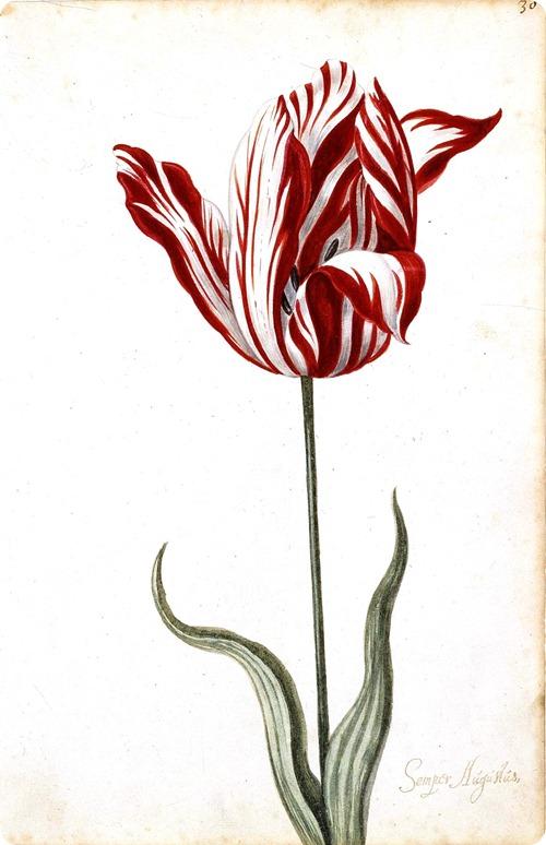 Botanical tulip print