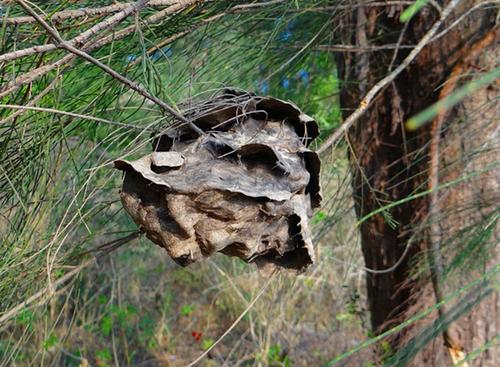 Manfaat sarang semut papua