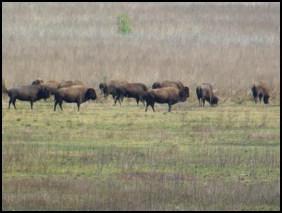 Buffalo, horses & deer 044