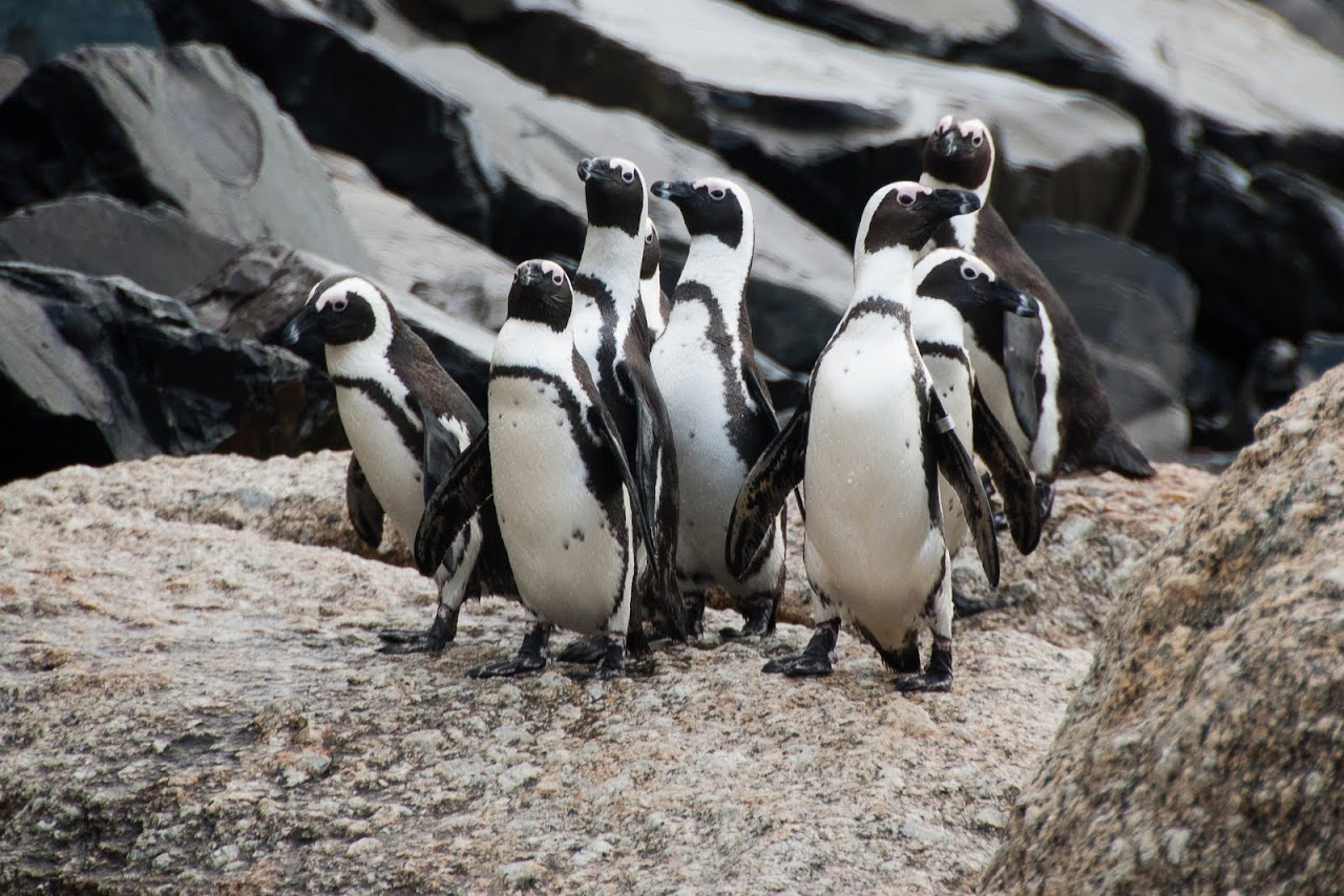 Penguins arriving at Boulder Beach