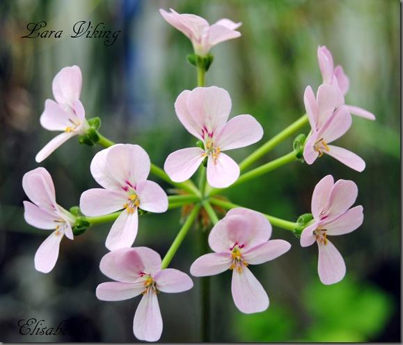 Pelargonium juli -11 001