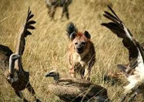 Amazing Pictures of Animals, Photo, Nature, Incredibel, Funny, Zoo, Hyena, Mammals, Alex (15)