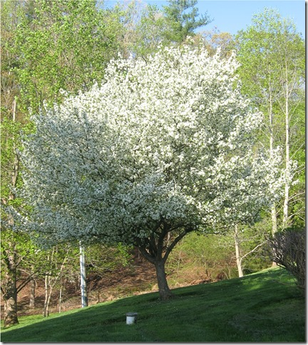 Big white dogwood