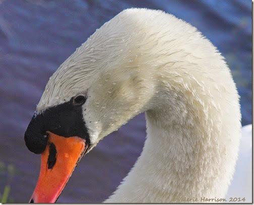5-swan