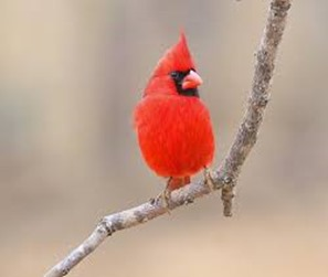 Amazing Pictures of Animals,photo, Nature, exotic, funny, incredibel, Zoo, Northern Cardinal, (Cardinalis cardinalis), Bird, Aves, Alex (5)