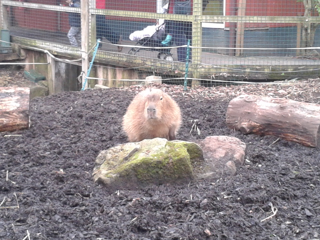 capybara capibara largest rodent in world Bristol Zoo cute funny cuddly