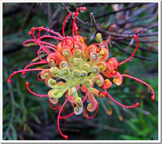 120211_UCSC_Arboretum_Grevillea-Robyn-Gordon_01