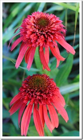 120615_Echinacea-Hot-Papaya_02