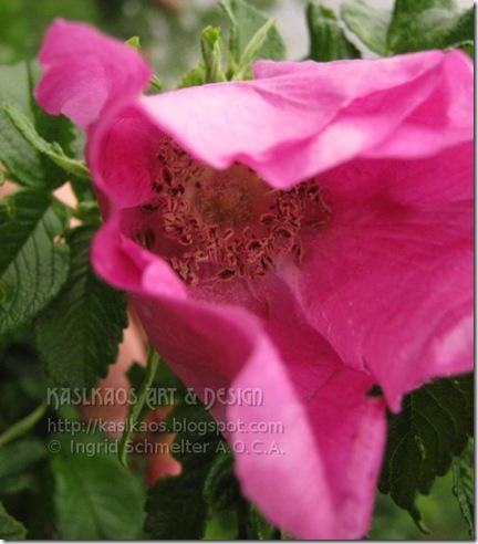 wild-rose72