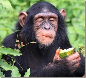 chimpanzees-choose-hand-clasps-cultural-preference_29812