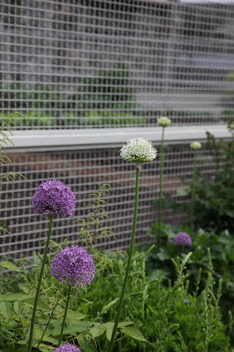 And, look, Sharkey!  There is even an allium stipitatum, or White Giant, growing here!