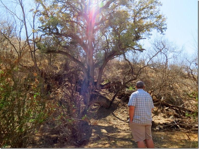 Patagonia oak tree