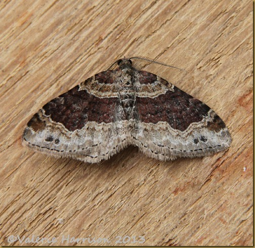 dark-barred-twin-spot-carpet