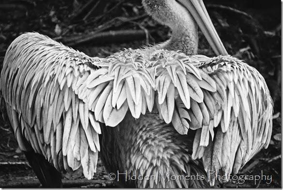 A Ruffled Pelican_BW