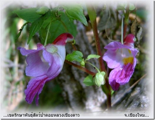 Flor papagaio da Tailandia 04