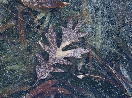 red-oak-leaf-frozen-in-ice_MG_3466-copy.jpg