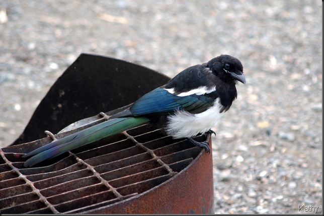 Magpie on the firepit