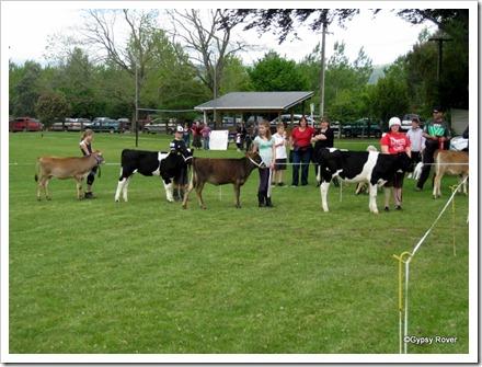 Calf judging at Koputaroa School Agricultural day.