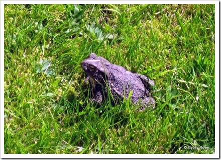 This Toad nearly got trod on in the Braemar Kirkyard.