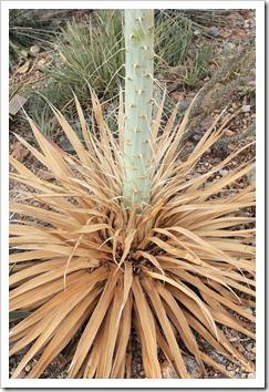 120728_ArizonaSonoraDesertMuseum_Agave-pelona_03