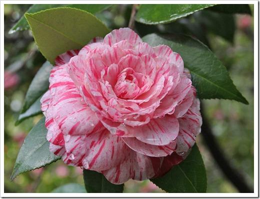 120317_Capitol_Park_Camellia-japonica_09