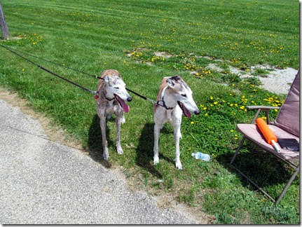 Rescuwgreyhounds05-11-14a