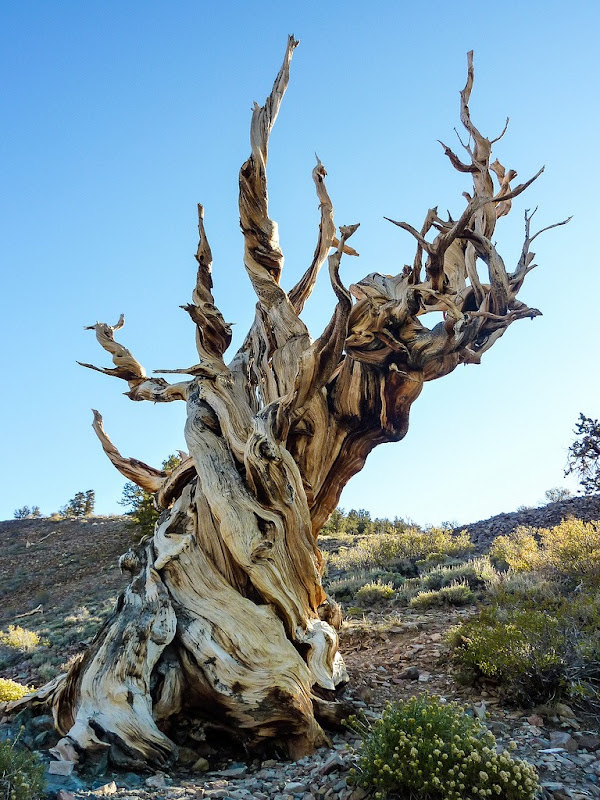 bristlecone-pines-4