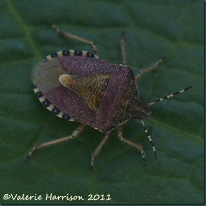 sloe-shieldbug