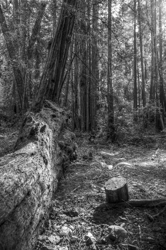 Muir Woods Black and White-5