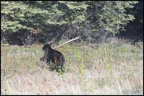 Bear-Back