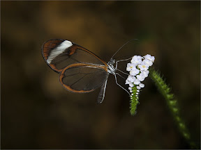 Glasswing Greta oto by John Powell EFIAP DPAGB BPE4