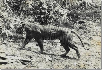 800px-Panthera_tigris_sondaica_01
