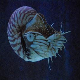 The Nautilus by Jason Gaston - Animals Sea Creatures ( aquarium, sea, ocean, nautilus, mollusk )