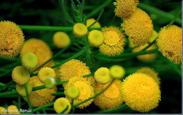 2 Santolina Rosmariniflora botonera DSC_6034x1