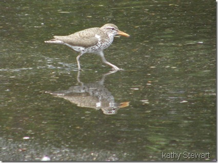 Spotted Sandpiper in the parking lot