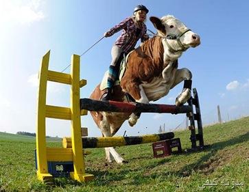 ترويض ثور  بديا عن الحصان