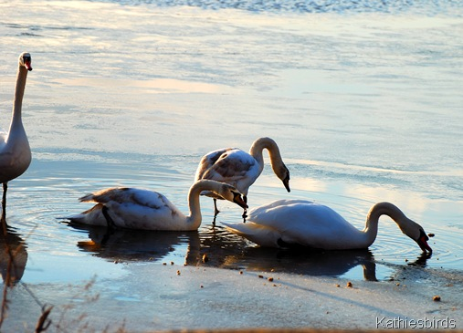 34. Mute swans 3-kab