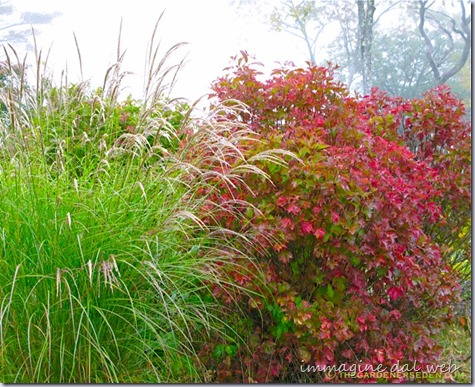 Viburnum-trilobum-and-Miscanthus-sinensis-Wider-View