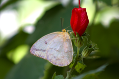 White Butterfly 52  BSP
